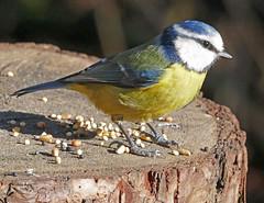 Blue tit (eric robb niven) Tags: ericrobbniven scotland dundee bluetit wildlife wildbird nature springwatch