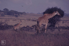 Nairobi Masai giraffe and young (hybrids with reticulated) (Mary Gillham Archive Project) Tags: 1970 6658 giraffacamelopardalistippelskirchi kenya mammal masaigiraffe nairobi planttree