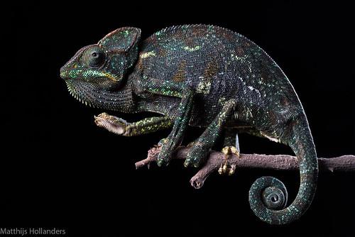 Arabian Chameleon (Chamaeleo arabicus)
