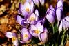 Krokusse geschützt im Wald (W@llus2010) Tags: krokus nahaufnahme pollen blütenstaub