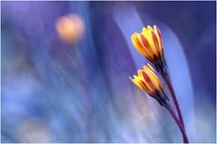 Lui e Lei (Photo Luc@) Tags: fiore canon eosm colore sfocato bokeh blu soft