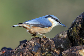 IMGP5087c Nuthatch, Lackford Lakes, December 2017