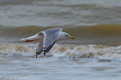 Larus argentatus - Herring Gull (bollejeanclaude) Tags: palmipèdes photos oiseaux goélands nature birds vogels depanne vlaanderen belgique be