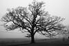 January Fog, 2018 (marylea) Tags: oaktrees jan21 2018 tree fog silhouette oak winter stark landscape foggy mist washtenawcounty michigan rural cornfield field