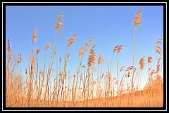 """Reed Bed..."" (NikonShutterBug1) Tags: nikond7100 nature spe smartphotoeditor reedbed wiganflashes tokina1017mmfisheye 7dwf"
