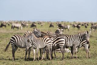 Just a few Zebra....