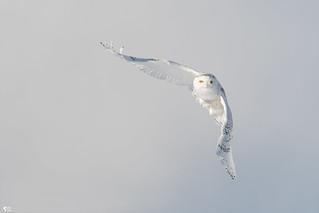 ''Légende du hibou!'' Harfang des neiges-Snowy owl