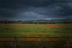 yorkshire field (kapper22) Tags: poppies yorkshire outdoor fence cloudy
