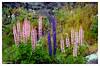Dragoneras, Ärdal, Fiordo de los Sueños (Noruega) (Guijo Córdoba fotografía) Tags: escandinavia noruega ärdal songnogfjordane fiordodelossueños ce guijocordoba nikond7100 nikonflickraward flickrtravelaward theperfectphotographer autofocus rural campo paisaje landscape roca hierba plantas flowers dragonera flor flower