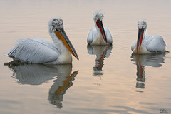Krauskopfpelikan - Dalmatian pelican (Claudia Brockmann) Tags: natur nature wildlife wildanimal see sea kerkinisee griechenland greece dalmatianpelican pelikan pelikane krauskopfpelikan wasser water tiere tier animal animals sunrise sonnenaufgang reflection reflections spiegelung
