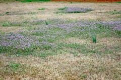 Field WIth Purple. (dccradio) Tags: lumberton nc northcarolina robesoncounty outside outdoors nature natural greenery spring springtime saturday saturdayafternoon afternoon field grass lawn purple purpleflowers smallflowers littleflowers nikon d40 dslr