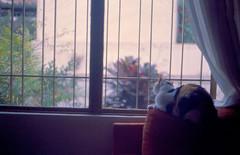 Bixiga - Cat TV (a.ninguem) Tags: bixiga bobtail cat tv window calico zenit df300 kodak ektachrome neko gatas gata film filme cromo slide pretibran 35mm
