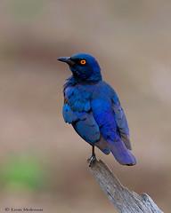 Glossy Starling (leendert3) Tags: leonmolenaar nature wildlife sunrays5 krugernationalpark birds glossystarling ngc npc