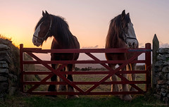 01 Gate (manxmaid2000) Tags: gate red horses two sunset farm rustic animal rural pair working cregneash cregneish isleofman manx countryside field wall horse