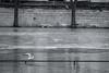 The Flood (sdupimages) Tags: blackwhite winter sundaylights flickrfriday mouette seagull noirblanc seine flood crue paris street rue bw nb fleuve river hiver city urban ville
