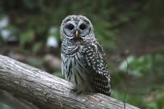Barred Owl (Creation Declares) Tags: barred owl bc bird