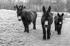 3__.jpg (Nu Mero) Tags: nb ane valléedevillé animaux villé grandest france fr