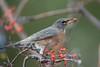 American Robin (Turdus migratorius) (byjcb) Tags: robin birds reno nevada unitedstates us