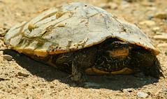 """Traits of a dinosaur in a shell (Darrell Colby """" You Call The Shots """") Tags: dinosaur shell turtle londonontario ontario canada darrellcolby"""