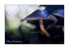 Qui suis-je ? (Champpommier) Tags: champignons forêt nature