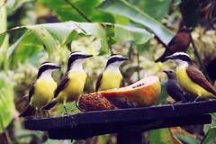 Great Kiskadees (Heather Bean VT) Tags: greatkiskadee kiskadee rainforest tropicalbird birds birdfeeder freshfruit arenal costarica flycatchers