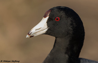 A lovable old Coot