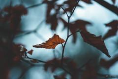 autumn bleech II (CPbild) Tags: makro leaves herbst nikon d700 buche 100mm autumn beech nature outdoor blätter cpbild natur macro