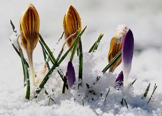 Kro(küsse) im Schnee