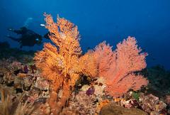 Gorgonians (Marine Explorer) Tags: scuba nature marine underwater australia marineexplorer