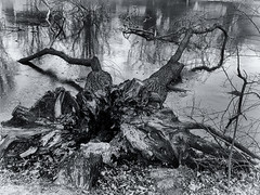 inside (FotoTrenz NRW) Tags: tree blackandwhite nature monochrome water reflection rotted bw blauersee bissingheimduisburg abstract lookinginside