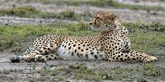 CHEETAH RELAXING 2017 (gazza294) Tags: cheetah masaimara kenya naturetrek nature nationalgeographic flicker flickr flckr flkr flickrexplore gazza294 garymargetts wildlife wildlifemagazine wildlifephotography wildlifephotographer google