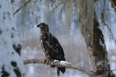 (rockwaterphotography) Tags: squamish britishcolumbia bc birdsofprey raptors birds nature wildlife baldeagles eagle