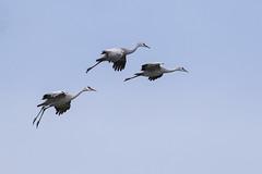 Sandhill Cranes Coming Down (marlin harms) Tags: lessersandhillcrane antigonecanadensis gruscanadensis sandhillcrane mercednwr