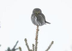 Northern-Pygmy Owl (casparc) Tags: 2018 owl northernpygmyowl bird