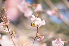 _DSC0775.jpg (plasticskin2001) Tags: mejiro sakura flower bird