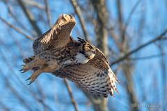 Think I'll head this way (Earl Reinink) Tags: bird animal raptor predator winter owl earl reinink earlreinink nikon niagara canada cold sky trees greathornedowl ahzdtaadza