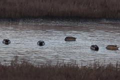 IMG_2679 (armadil) Tags: mavericks beach beaches californiabeaches bird birds mallard mallards duck ducks