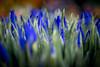 Tulips (maxence.lefort) Tags: amsterdam noordholland netherlands nl