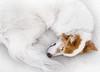 sleepy fox Nadja (utski7) Tags: nadja curl firefox isntshejustadorable
