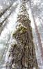 Up A Tree (maureen.elliott) Tags: 7daysofshooting themebanginthemiddle texturetuesday tree winter mosses lookingup nature forest woodland hiking snow texture treetrunk bark algonquinpark trail