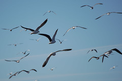 Seagulls_In_Flight (hawaza) Tags: bird birds seagulls inflight sky takeoff riaformosa algarve portugal