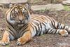 Nelson (ToddLahman) Tags: nelson joanne teddy beautiful mammal male sandiegozoosafaripark safaripark sumatrantiger canon7dmkii canon canon100400 closeup tiger tigers tigertrail escondido eyelock exhibita