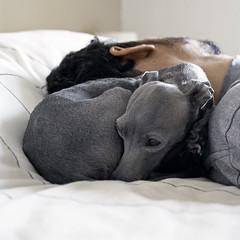 There's no pillow quite soft as a father's strong shoulder (@dora_figalga) Tags: safe confort protection shoulder pillow cutedog doglover instadog iggy italiangreyhound greyhound sighthound galgo greydog sweet cute dog pet specialdog bestfriend ilovemydog dora dorafigalga
