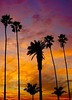 Santa Monica Sunset (Kramskorner) Tags: santa monica sunset palm trees clouds cotton candy birds seagulls landscape sky twilight beach venice los angeles california sony a7ii 24240mm