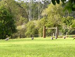 Australia. New South Wales. guinea fowl. (Anne & David (Use Albums)) Tags: guineafowl australia newsouthwales