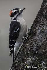 Male Downy Woodpecker Clings To A Slanting Tree Trunk (brucefinocchio) Tags: maledownywoodpecker downywoodpecker woodpecker bird avian slantingtreetrunk treetrunk bark portrait picoidespubescens sanlorenzocreek castrovalley eastbay northerncalifornia