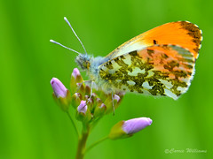 Orange-tip butterfly - Anthocharis cardamines (male) (Carrie Williams_13) Tags: butterfly orangetipbutterfly orangetip male orange anthochariscardamines anthocharis insect invertebrate nikond3100 nikon uk macro sigma 105mm sigma105mm bokeh