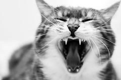 roar or yawn? (jojoannabanana) Tags: 3652017 blackandwhite cat details monochrome tabby teeth whiskers yawn