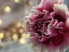 T H E   S O F T   L O V E (Vivi Black) Tags: lovelyflower love bokeh nelke macro light flower beauty romantic soft clove