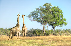 Tall (PhilHydePhotos) Tags: africa botswana chitabecamp giraffe okavangodelta safari